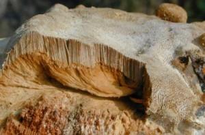polypore des caves